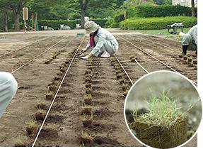 ティフトン芝ボット苗植栽(低コスト・省管理)緑化